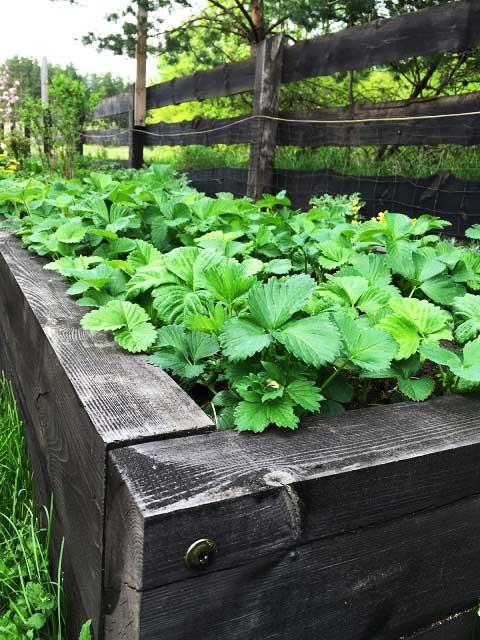 truskawki | Un Jardin czyli mój tajemniczy ogród