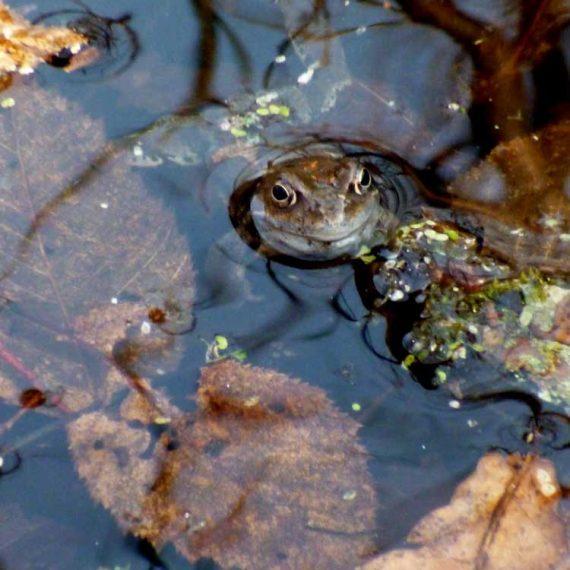 żaba w Krutyni