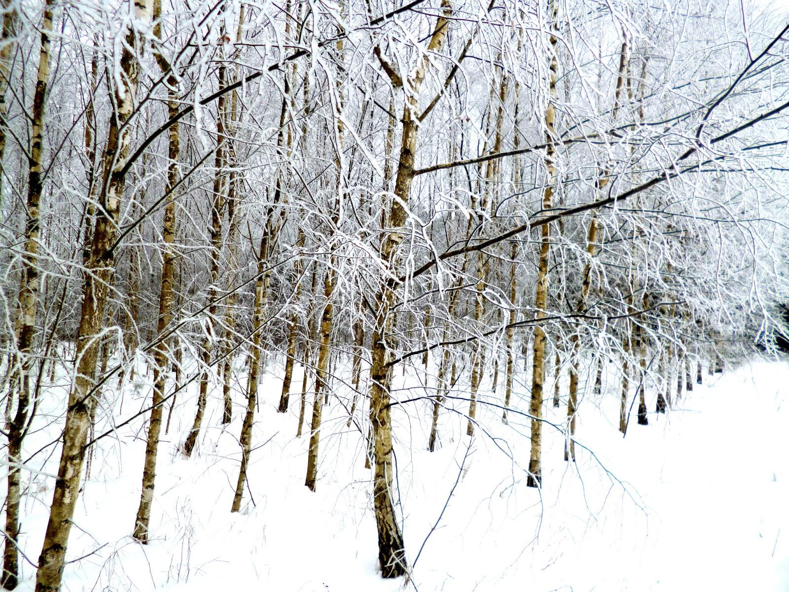 las brzozowy zima